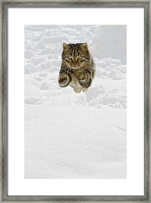 Domestic Cat Felis Catus Male Jumping Framed Print by Konrad Wothe