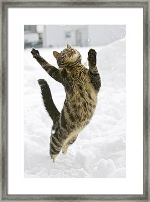 Domestic Cat Felis Catus Male Leaping Framed Print by Konrad Wothe