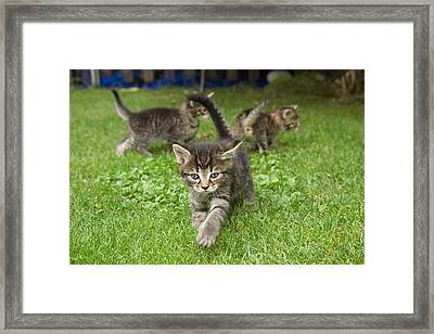 Domestic Cat Felis Catus Three Grey Framed Print by Konrad Wothe