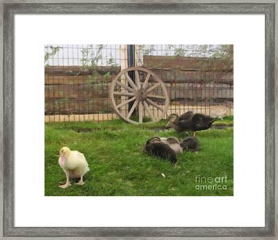 Domestic Ducks Framed Print