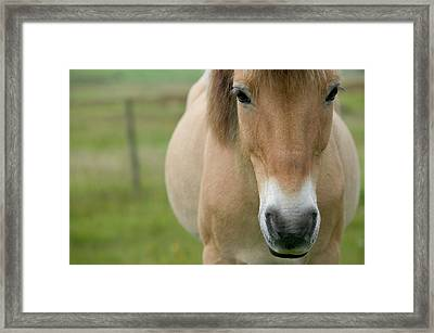 Domestic Horse Equus Caballus Portrait Framed Print by Cyril Ruoso