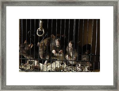 Domestic Rats At The George M. Sutton Framed Print by Joel Sartore