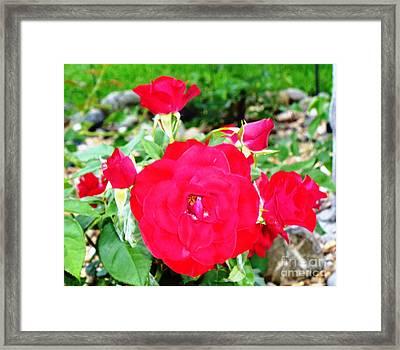 Don Juan Roses Framed Print by Alys Caviness-Gober