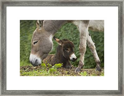 Donkey Equus Asinus Adult With Foal Framed Print