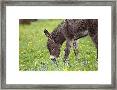 Donkey Equus Asinus Foal Grazing Framed Print by Konrad Wothe