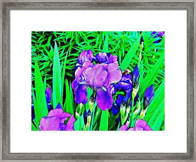 Double Blooming Iris Framed Print by Chris Berry