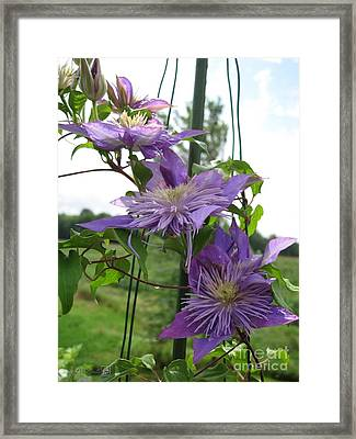 Framed Print featuring the photograph Double Clematis Named Crystal Fountain by J McCombie