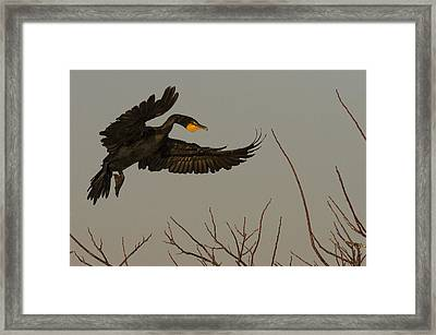 Double Crested Cormorant Coming Framed Print