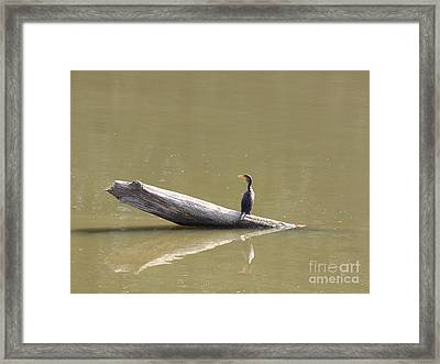 Double-crested Cormorant Framed Print by Jack R Brock