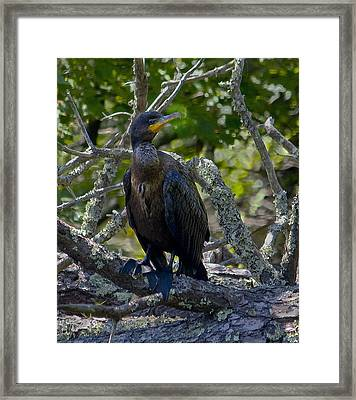 Double-crested Cormorant Framed Print by Michael Friedman