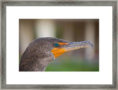 Double-crested Cormorant Framed Print by Rich Leighton