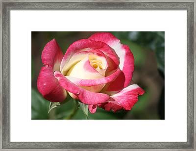Double Delight Rose Framed Print