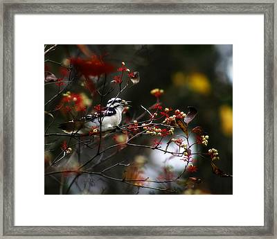 Downy Woodpecker And White Berries Framed Print by Scott Hovind