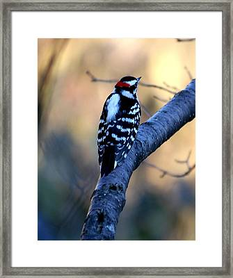 Framed Print featuring the photograph Downy Woodpecker by Elizabeth Winter
