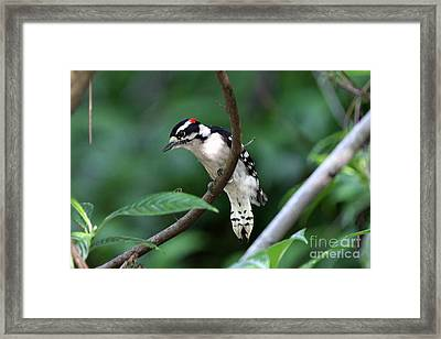 Downy Woodpecker Framed Print by Jennifer Zelik