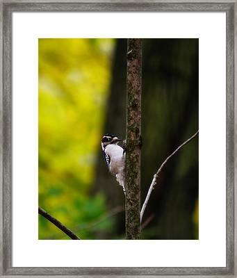 Downy Woodpecker Framed Print by Scott Hovind