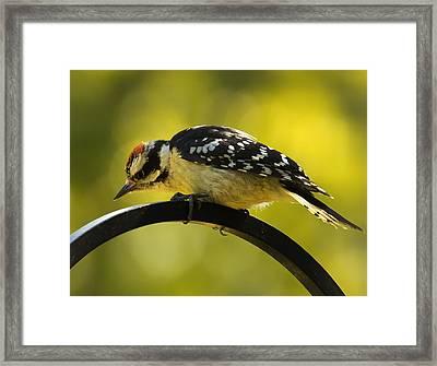 Downy Woodpecker Up Close 3 Framed Print by Bill Tiepelman
