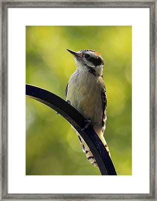 Downy Woodpecker Up Close Framed Print by Bill Tiepelman