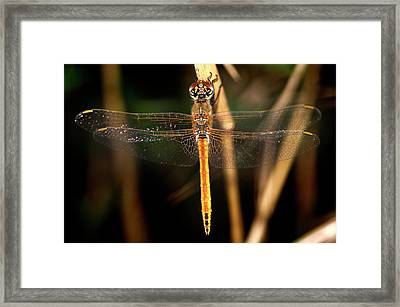 Framed Print featuring the photograph Dragon Fly 1 by Pedro Cardona