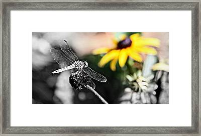 Dragon Fly And Yellow Black Eyed Susan Framed Print by Tam Graff