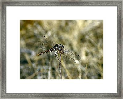 Dragon Fly  Framed Print by Dorothy Hilde