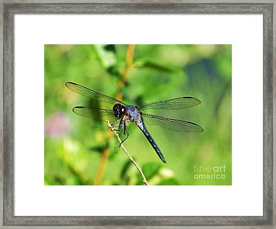 Framed Print featuring the photograph Dragon Fly  by Eve Spring