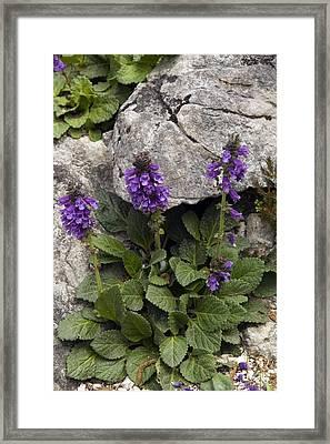 Dragon Mouth (horminum Pyrenaicum) Framed Print by Bob Gibbons