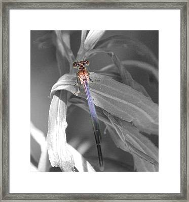 Dragonfly Bw With Color Framed Print by Peter Ciro