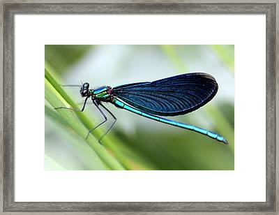 Dragonfly Framed Print by Charlotte Therese Bjornstrom