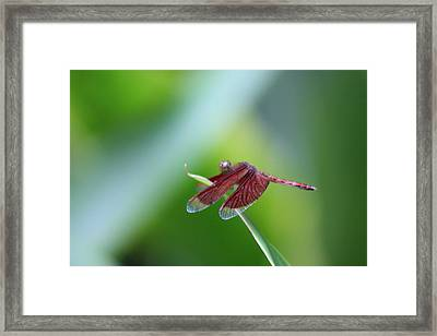 Dragonfly Framed Print by Gonca Yengin