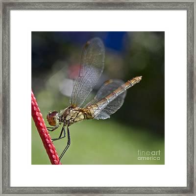 Dragonfly Framed Print by Heiko Koehrer-Wagner