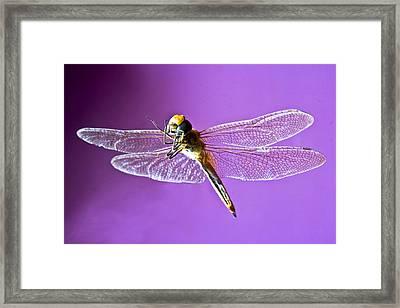 Dragonfly Framed Print by Kantilal Patel