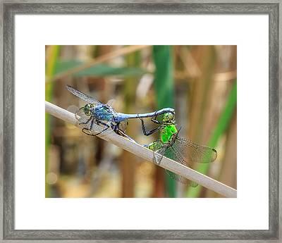 Dragonfly Love Framed Print by Everet Regal