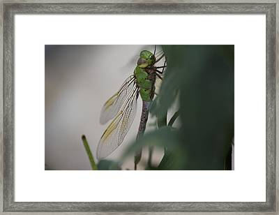 Dragonfly Framed Print by Michel DesRoches
