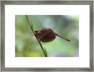 Dragonfly On A Leaf Framed Print by Zoe Ferrie