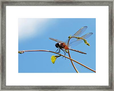 Dragonfly On A Vine Framed Print