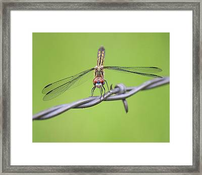 Framed Print featuring the photograph Dragonfly On Barbed Wire by Penny Meyers