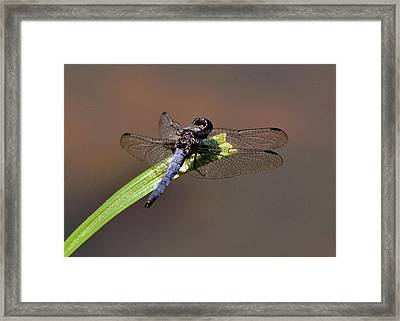 Dragonfly On Goose Feather Pond  - C2121b Framed Print by Paul Lyndon Phillips