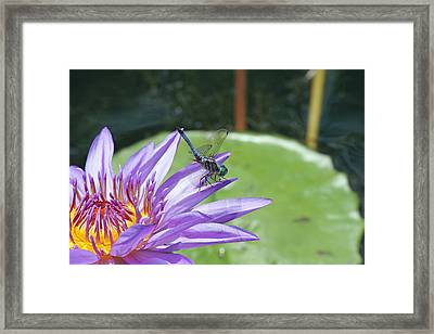 Dragonfly On Purple Water Lily Framed Print by Becky Lodes