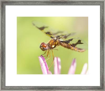 Dragonfly On Tip Of Cornflower Framed Print by Daphne Sampson