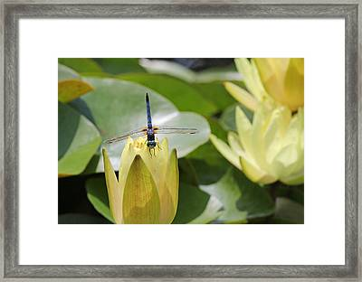 Dragonfly On Yellow Waterlily Bud Framed Print by Becky Lodes