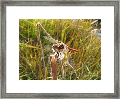 Dragonfly Red Framed Print by Michelle H