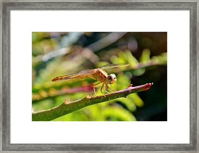Framed Print featuring the photograph Dragonfly by Werner Lehmann