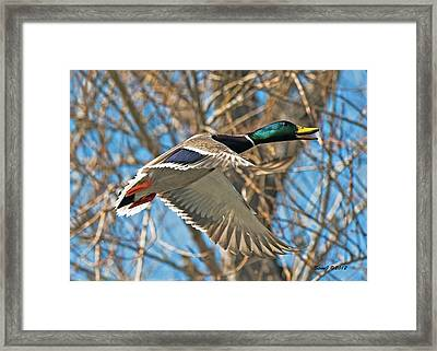 Framed Print featuring the photograph Drake In Flight by Stephen  Johnson