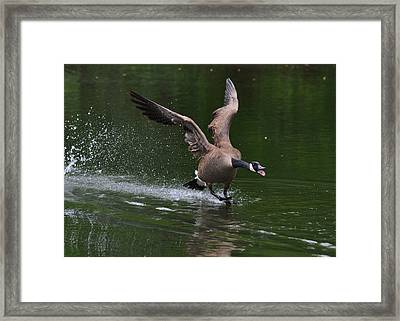 Drake In Mating Season - C0663d Framed Print by Paul Lyndon Phillips