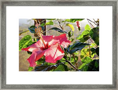 Drama In The Hibiscus World Framed Print