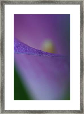 Dreamy Calla Framed Print by Carolyn Dalessandro