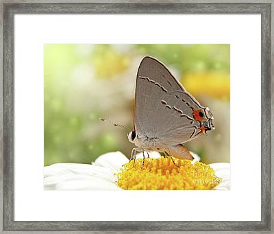 Dreamy Hairstreak Butterfly Framed Print