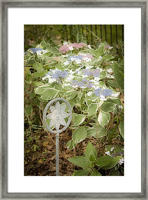 Dreamy Lacecaps Framed Print by Teresa Mucha