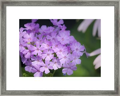 Dreamy Lavender Phlox Framed Print by Teresa Mucha